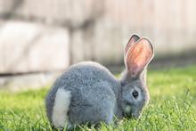 Gray Bunny Eating Grass At Sun...