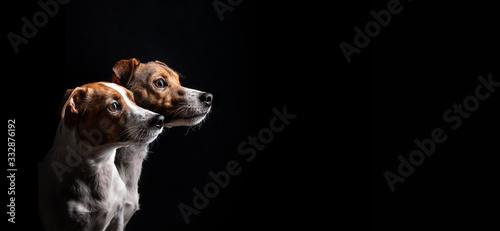 Obraz Zwei Jack Russel Terrier mit wunderschönen Augen im Seitenprofil vor schwarzen Hintergrund - fototapety do salonu