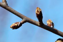 Bud On Pear Twig Tree In Sprin...