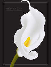 White Calla Vector Flower Card Template Isolated On Black Background. Myay Be Used As A Funeral Memory Illustration, Mourn Art Or Holiday Design