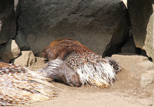 Little Indian Crested Porcupin...