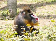 Portrait Of A Big Mandrill Alp...
