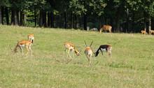 Herd Of Indian Antelopes Blackbucks (Antilope Cervicapra) On The Meadow