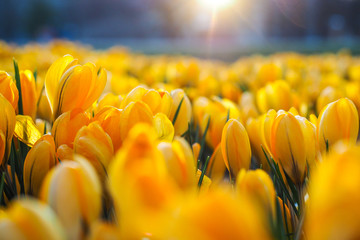 The first beautiful yellow crocuses blooming in the spring garden, in park in sunset. Selective focus