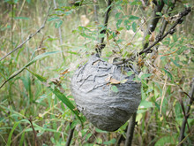 Vespiary Or Wasps Nest At Forest In Summer