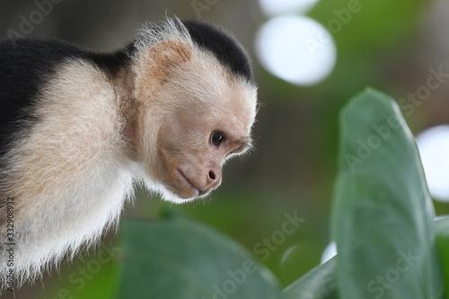 Close-up of White-faced Capuchin Fototapet