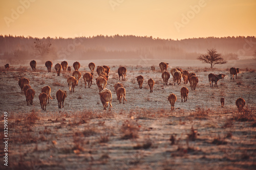 Photo Herd of young Limousin beef cattle being run on for beef