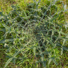 Rosette Of A Spear Thistle Photographed From Above