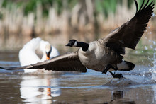 Canada Goose In Habitat. His L...