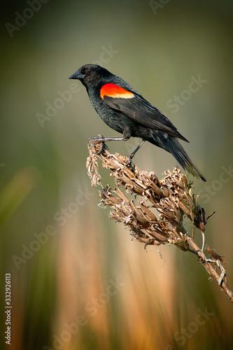 Male Red-winged Blackbird. Wallpaper Mural