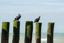Cormorants Posed On A Stake Along The Beach