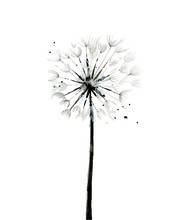 Monochrome Dandelion. Flower D...