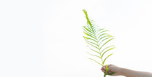 Palm Sunday Concept.Palm Branch In Man Hand On The Sky In Palm Sunday For Welcome Jesus In Jerusalem.background And Easter Concept.Copy Space.white Background.