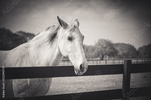 portrait of a horse black and white