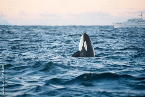 Obraz na plátně orca killer whale spy hop in the arctic