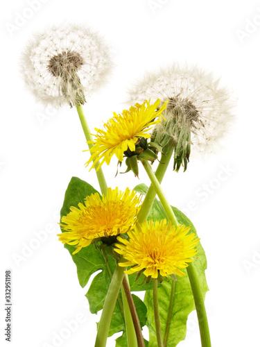 Fototapeta Löwenzahn mit Blätter und Pusteblume