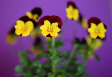 Flowers Called Johnny Jump Up Or Viola Tricolor In Latin Close Up Macro On Violet Background