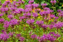 Wild Bergamot Or Bee Balm Wildflower. Monarda Fistulosa Pink Flower.