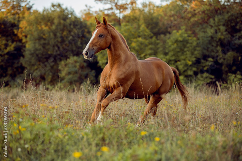 Fototapeta young brown horse running on meadow by the sunset obraz