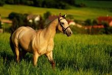 Buckskin Quarter Horse Gallops...