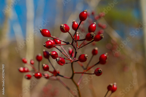 Red berries, missed by the birds and animals, last till the first days of Spring Canvas Print