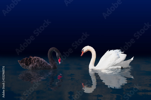 Black and White swan with reflection on water surface Canvas Print