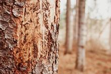 Barkbeetle Tree Bark Ips Typog...