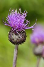 Cirsium Heterophyllum, Also Kn...