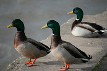 Three Male Ducks Standing On A...