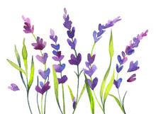 Watercolor Lavender Flowers An...