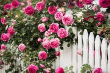 White Picket Fence Roses