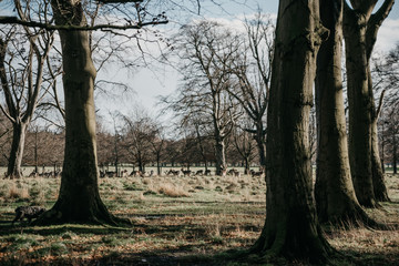 Phoenix Park in Dublin Ireland with deer animals and trees