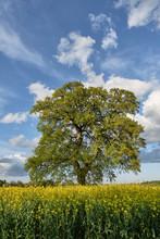 Oak Tree In A Field Of Rapesee...