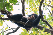 Healthy Chimpanzee Looks Funny With A Splinter In Its Mouth, Reclining On The Branches Of A Tree In Tanzania.