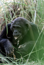 Photo Of An Adult Chimpanzee E...