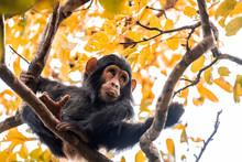Healthy Chimpanzee Looks Funny...