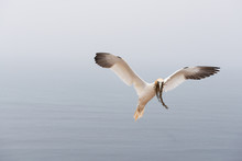 Northern Gannet Flying Mid Air Above Sea