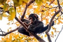 Healthy Chimpanzee Looks Funny With A Splinter In Its Mouth, Reclining On The Branches Of A Tree In Tanzania