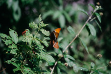 Mating Orange Butterflies In The Forest Of Mexico