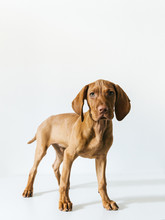 Portrait Of Vizsla Dog