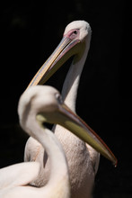 Close Up Of Pink Backed Pelicans