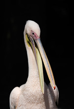Close Up Of Pink Backed Pelican
