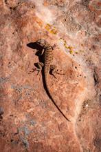 Eastern Fence Lizard Sunning Himself On The Utah Desert Floor Inside Canyonlands National Park