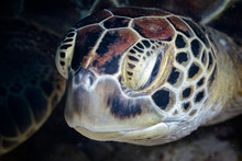 Head Of Sea Turtle In Water