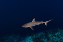 Reef Shark And Fish Swimming I...