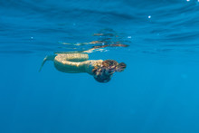Olive Seas Snake Eating Fish I...