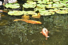 Lily Pads And Fish