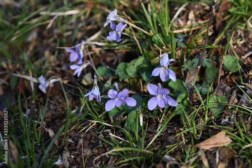 Violet / Wildflower that blooms on the roadside in spring.