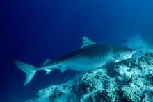 Tiger Sharks Feeding