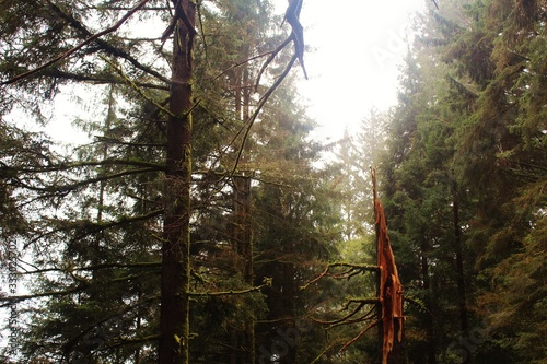 broken redwood in forest